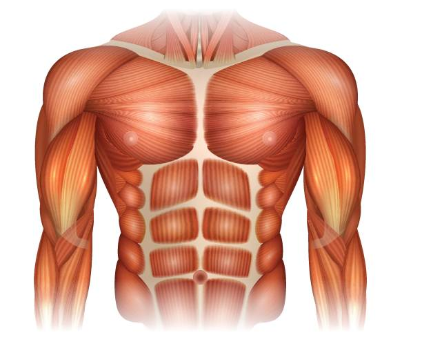 Muscles of the Chest Muscles of the human body, torso and arms, beautiful colorful illustration. chest torso stock illustrations