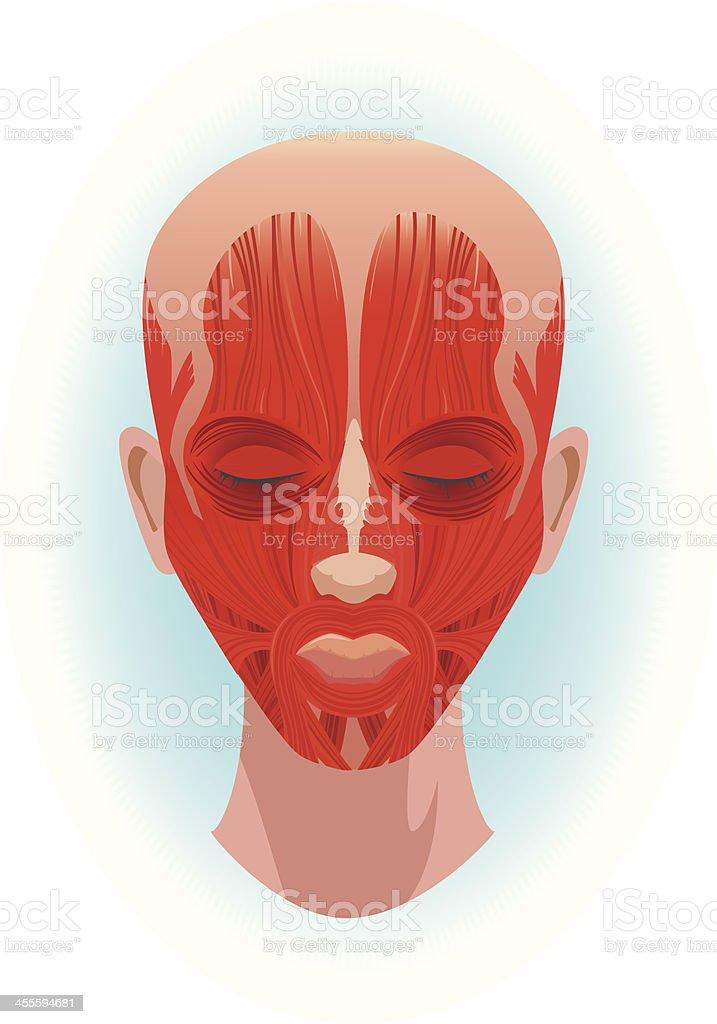 Muskeln In Gesicht Stock Vektor Art und mehr Bilder von Anatomie ...