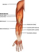 istock Muscles of the hand and arm 1007815182