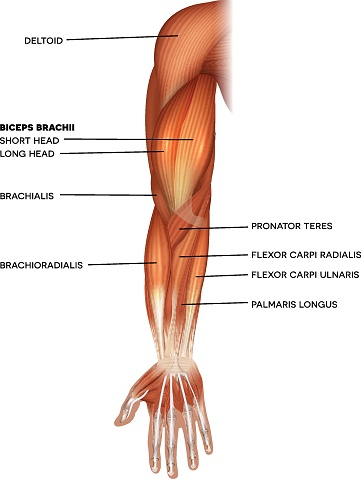Muscles Of The Hand And Arm Stock Illustration - Download Image Now