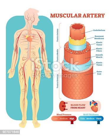Ilustración de Ilustración De Vector Anatómicos De Arteria Muscular ...