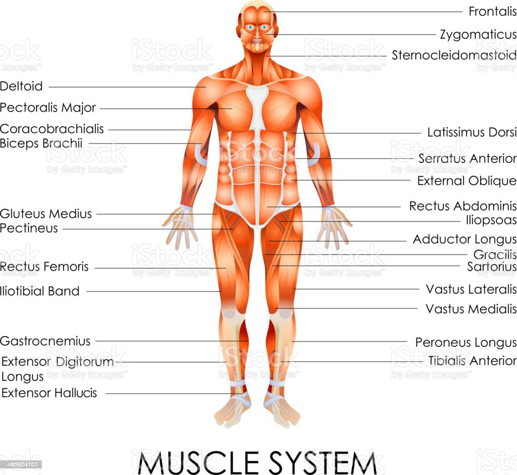 Muscular System Stock Vector Art More Images Of Adductor Longus
