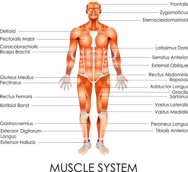 Royalty Free Human Muscle Clip Art Vector Images Illustrations
