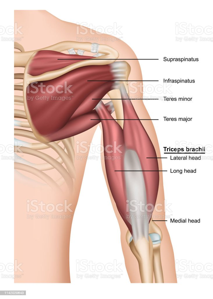 Musculus triceps brachii 3D medische vector illustratie op witte achtergrond, menselijke arm van achter - Royalty-free Anatomie vectorkunst
