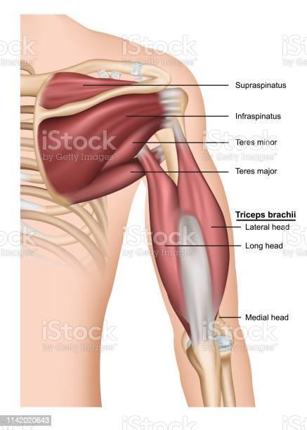 Musculus Triceps Brachii 3d Medische Vector Illustratie Op Witte Achtergrond Menselijke Arm Van Achter Stockvectorkunst en meer beelden van Anatomie