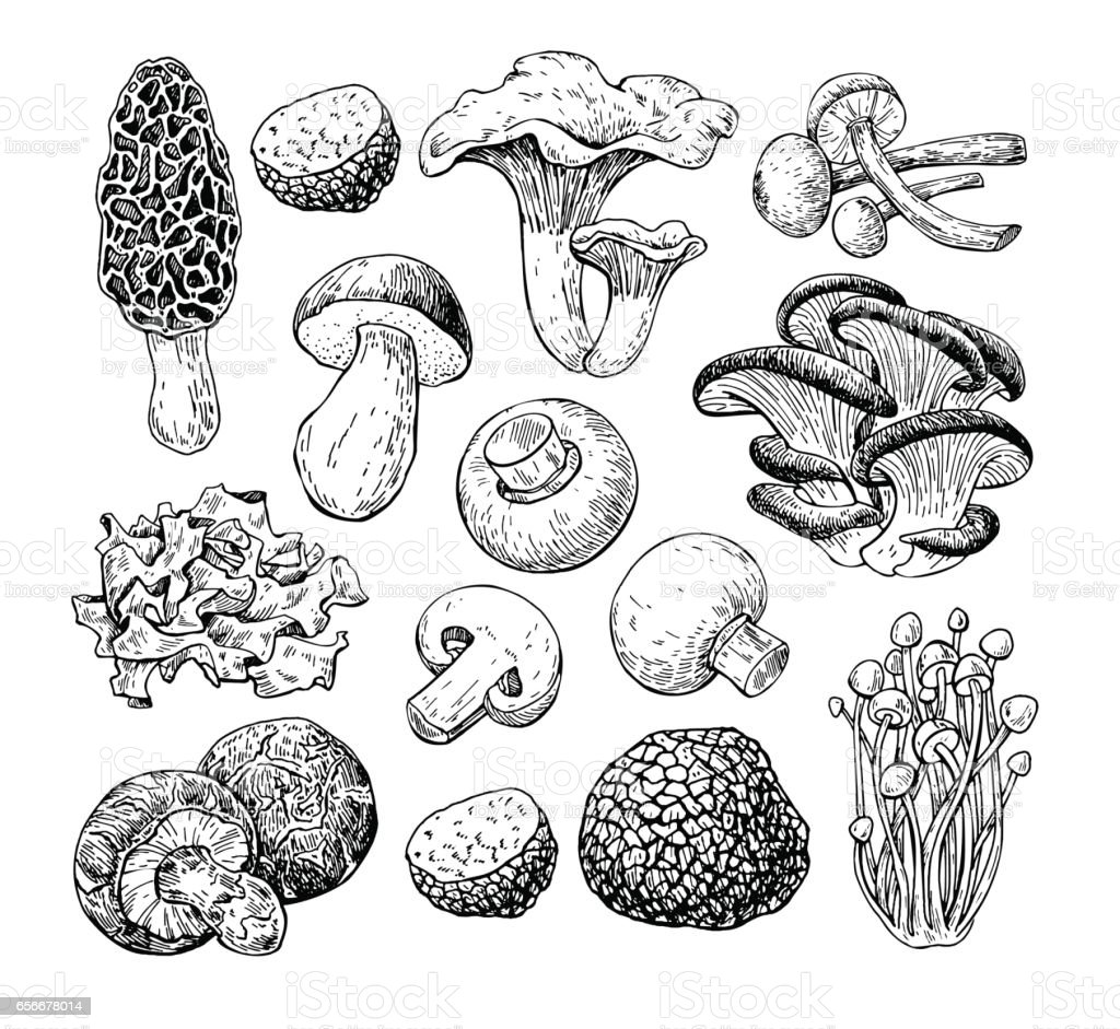 Mushroom hand drawn vector illustration. Sketch food drawing iso vector art illustration