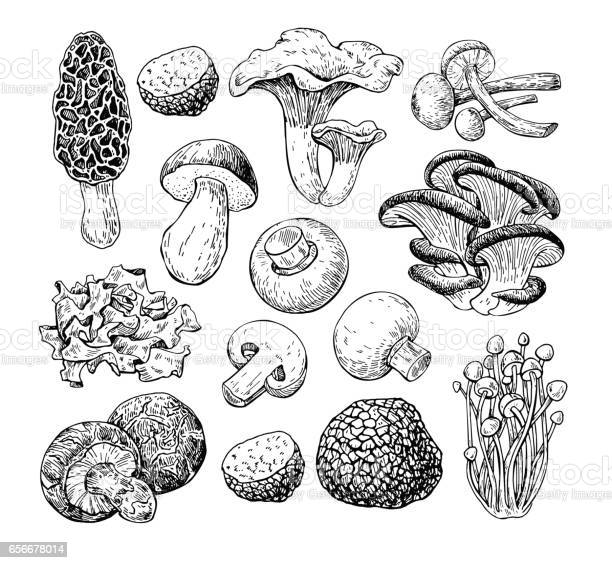 Mushroom hand drawn vector illustration. Isolated Sketch food drawing . Champignon, morel, truffle, enokitake, porcini, oyster, honey agaric, chanterelle wood ear shiitake Organic vegetarian product