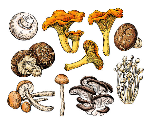 ilustrações de stock, clip art, desenhos animados e ícones de mushroom hand drawn vector illustration. sketch food drawing - cogumelos