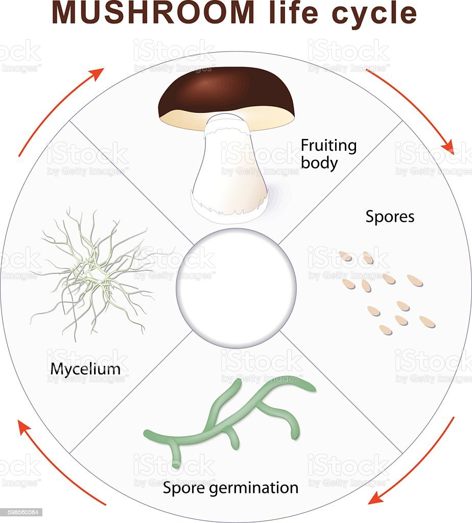 mushroom life cycle vector art illustration