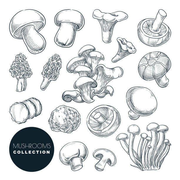 ilustrações de stock, clip art, desenhos animados e ícones de mushrooms collection, sketch vector illustration. hand drawn food ingredients isolated design elements - cogumelos