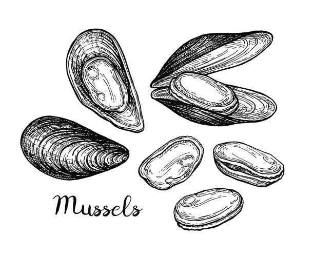 Mussels ink sketch. Mussels ink sketch. Isolated on white background. Hand drawn vector illustration. Retro style. mussel stock illustrations