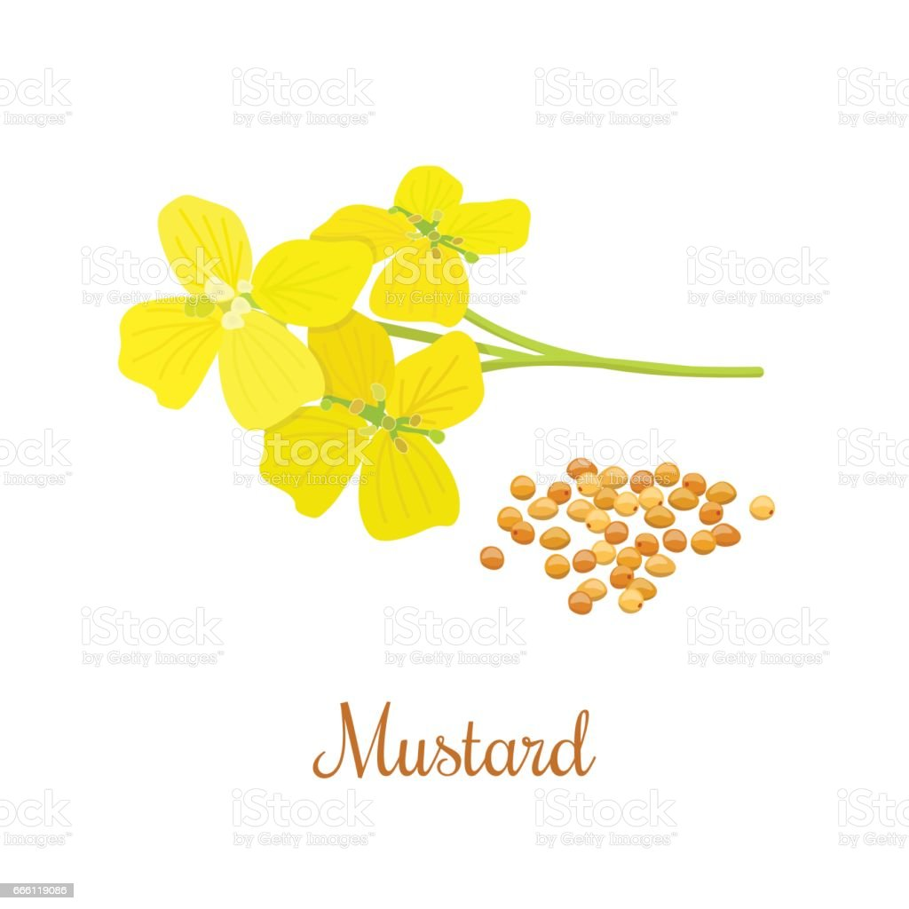 Mustard flower and seeds vector art illustration