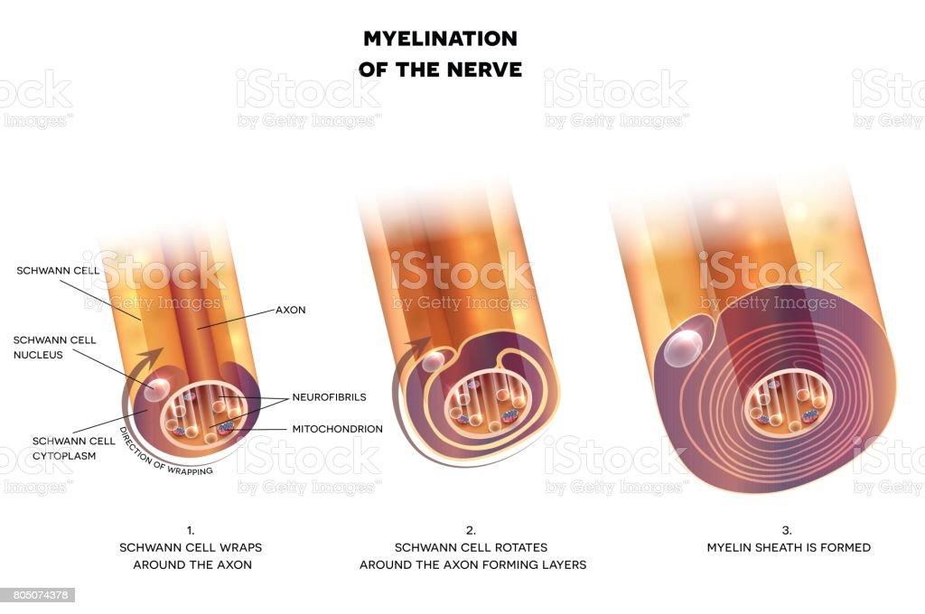 Myelinisierung Der Nervenzelle Stock Vektor Art und mehr Bilder von ...