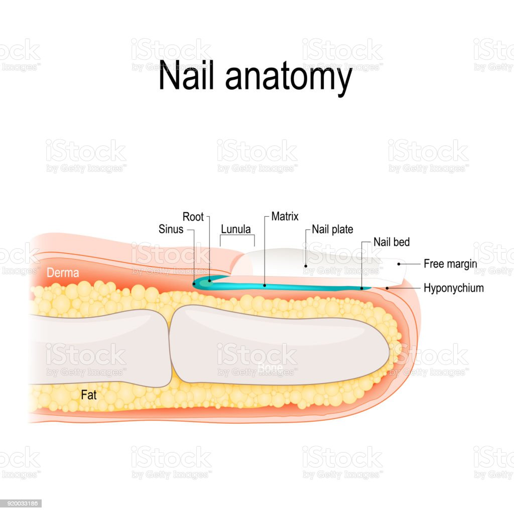 Nail anatomy vector art illustration