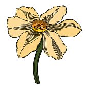 Vector colored narcissus flower isolated on white background. Element for design. Hand-drawn contour lines and strokes.