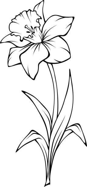 Line Drawing Daffodil : Royalty free daffodil clip art vector images