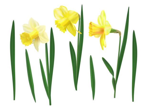 Daffodil Flower I Wandered Lonely As A Cloud Tulip Clip Art, PNG,  458x800px, Daffodil, Amaryllidaceae, Amaryllis