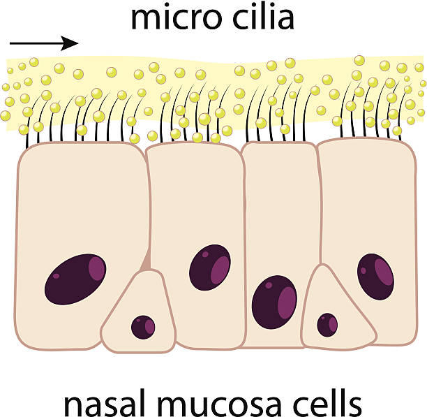 Nasal mucosa Nasal mucosa cells and micro cilia vector scheme epithelium stock illustrations