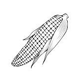 Natural corn hand drawn vector illustration. Thanksgiving day, agriculture sketch symbol. Maize cob, organic vegetable monochrome drawing. Autumn season harvest, popcorn ingredient, vegetarian food