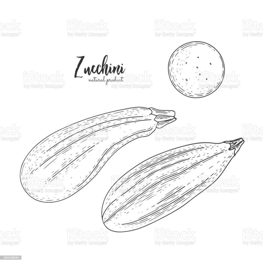 Natural food for farmers market. Vector zucchini hand drawn illustration. Contour outline style. Vegetarian food for design menu, recipes, package design, decoration kitchen items. vector art illustration