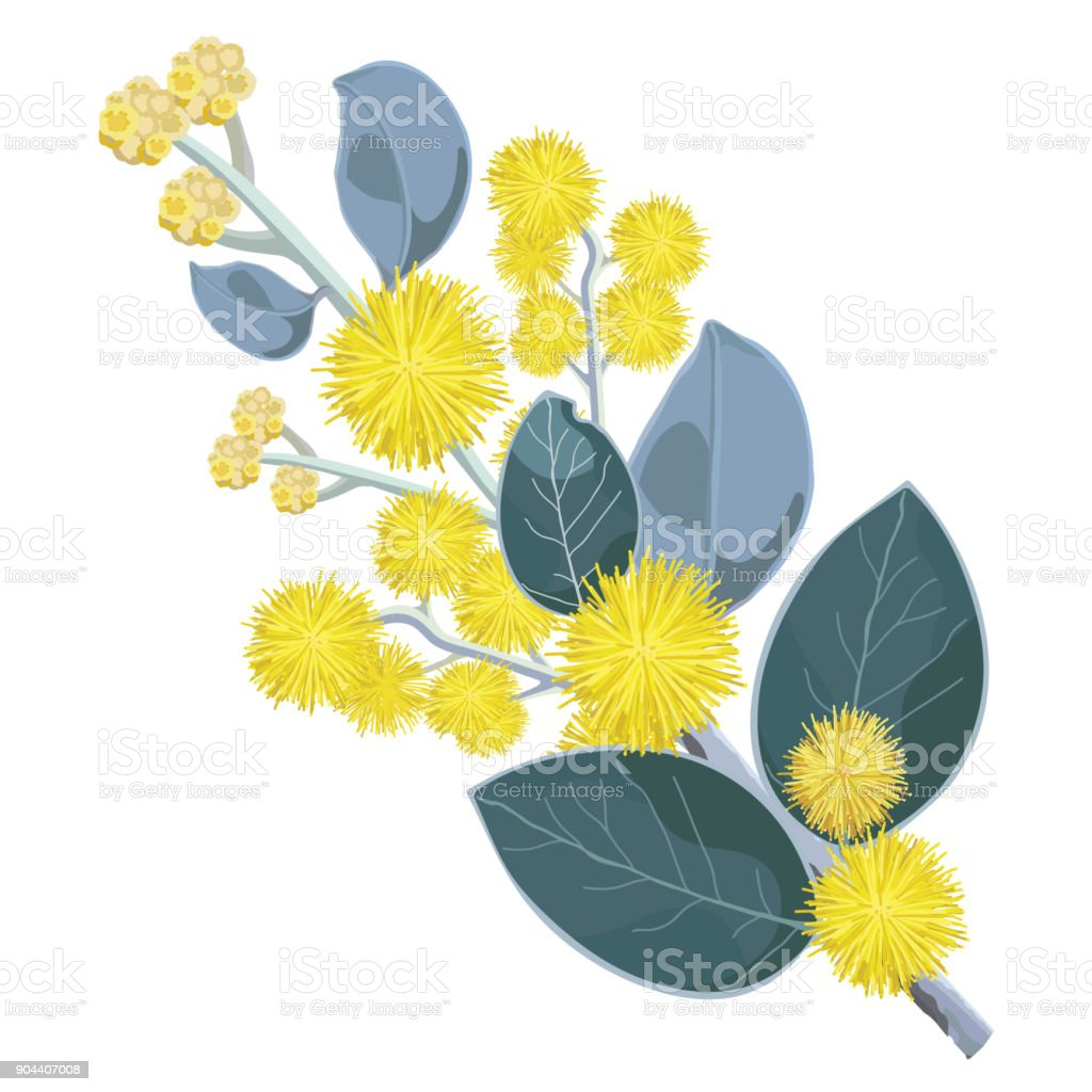 Natural Golden Flowering Wattle vector art illustration
