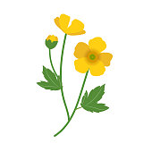 Meadow buttercup ( Ranunculus acris) flower isolated on a white background
