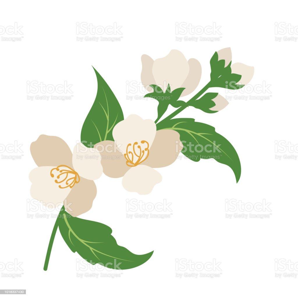 Jazmín de flor natural, planta de hoja floral de jardín botánico de vector. - ilustración de arte vectorial