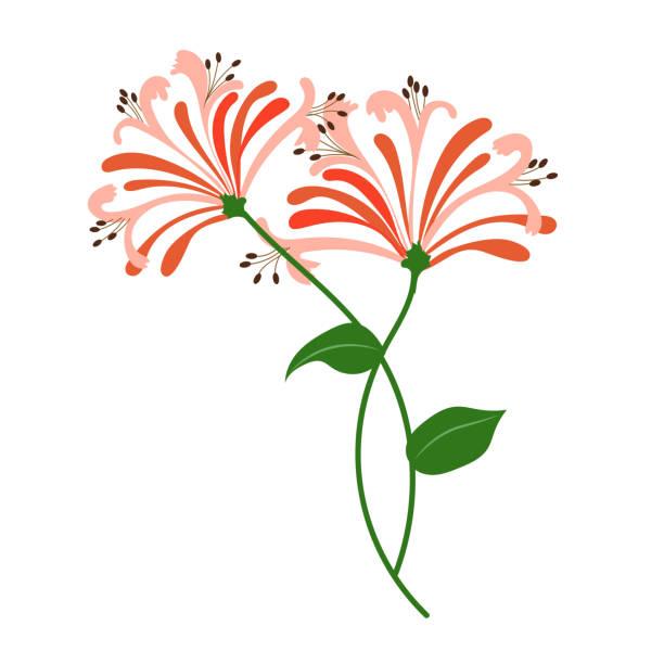 Nature flower orange honeysuckle, vector botanic garden floral leaf plant. Nature flower orange honeysuckle, vector botanic garden floral leaf plant. honeysuckle stock illustrations