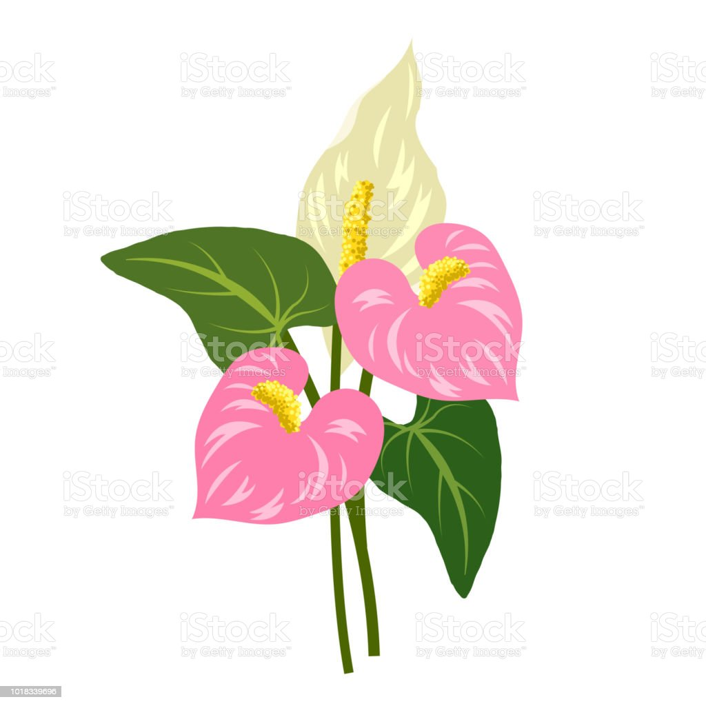 Naturaleza flor anthurium rosa flamingo flor, planta de hoja floral de jardín botánico de vector. - ilustración de arte vectorial