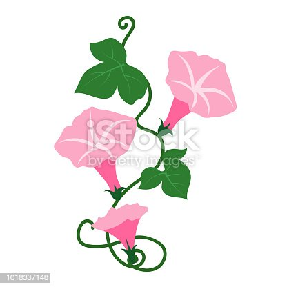 Nature flower pink morning glory flower, vector botanic garden floral leaf plant.