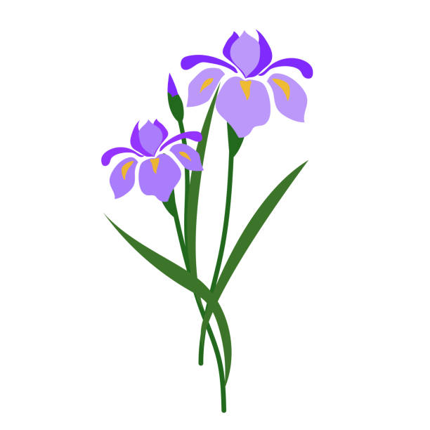 Image result for iris flower illustration