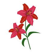 Nature flower red tiger lily, vector botanic garden floral leaf plant.