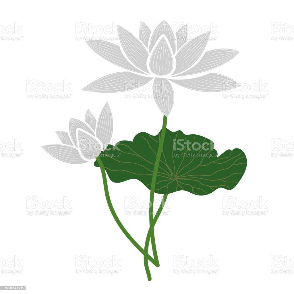 Naturaleza flor blanca de loto, planta de hoja floral de jardín botánico de vector. - ilustración de arte vectorial