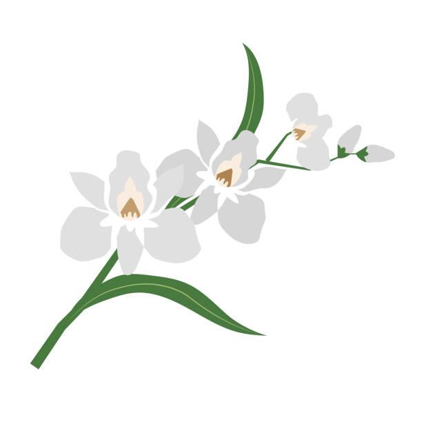 Nature flower white orchid, vector botanic garden floral leaf plant. Nature flower white orchid, vector botanic garden floral leaf plant. orchid stock illustrations
