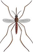 Nature, Mosquito stilt, top view