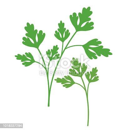 Nature organic vegetable Parsley, healthy vector colorful food vegetable spice ingredient.
