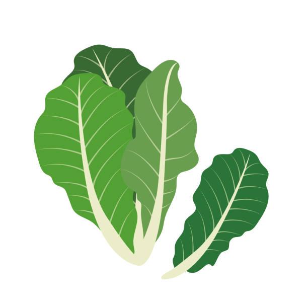 Nature organic vegetable Romaine lettuce, healthy vector colorful food vegetable spice ingredient. Nature organic vegetable Romaine lettuce, healthy vector colorful food vegetable spice ingredient. romaine lettuce stock illustrations
