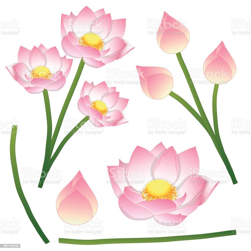 Nelumbo Nucifera Indian Lotus Sacred Lotus Bean Of India Egyptian