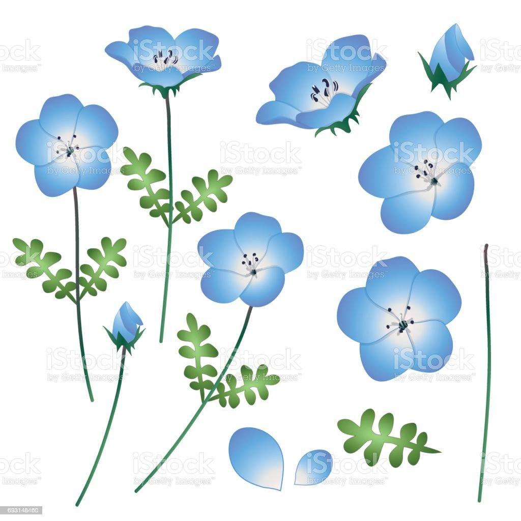 Nemophila Baby Blue Eyes Flower Vector Illustration Isolated On ...