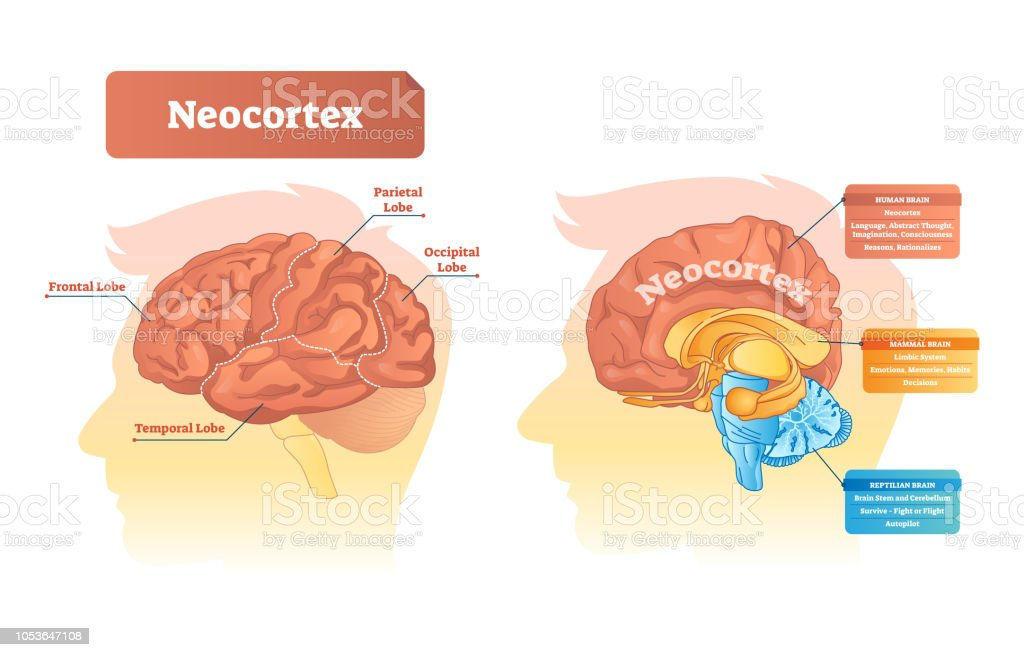 Neocortex Vector Illustration Labeled Diagram With Location And