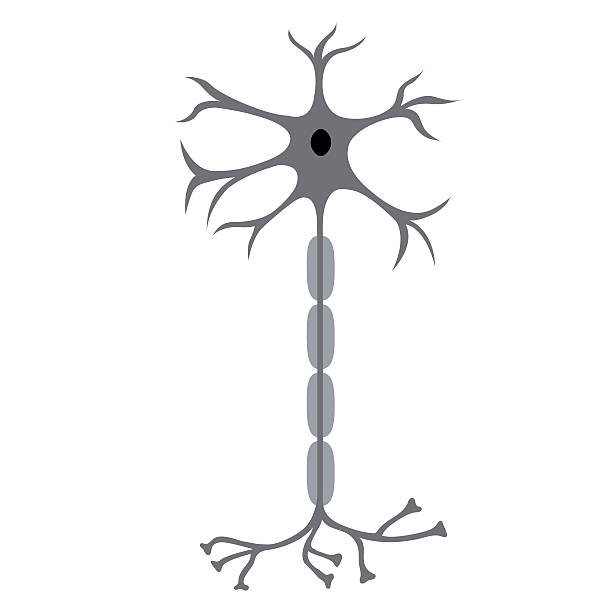 Nerve Cell Neuron Nerve Cell Neuron, isolated on white background neural axon stock illustrations