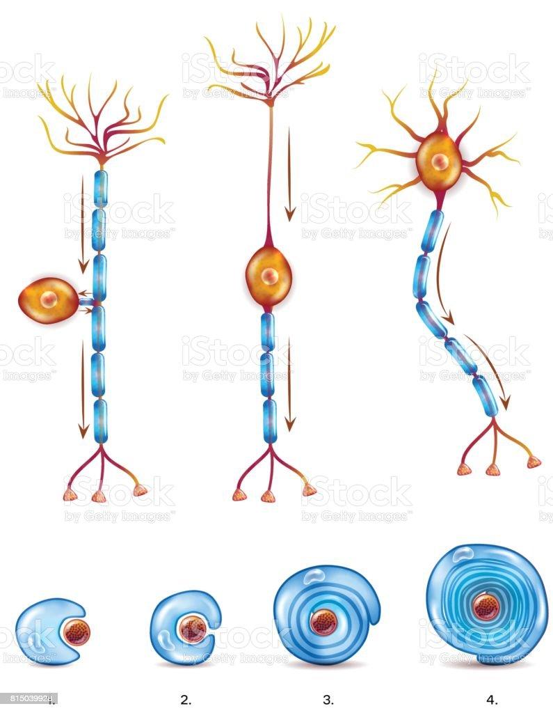 Cell Clip Art Biology
