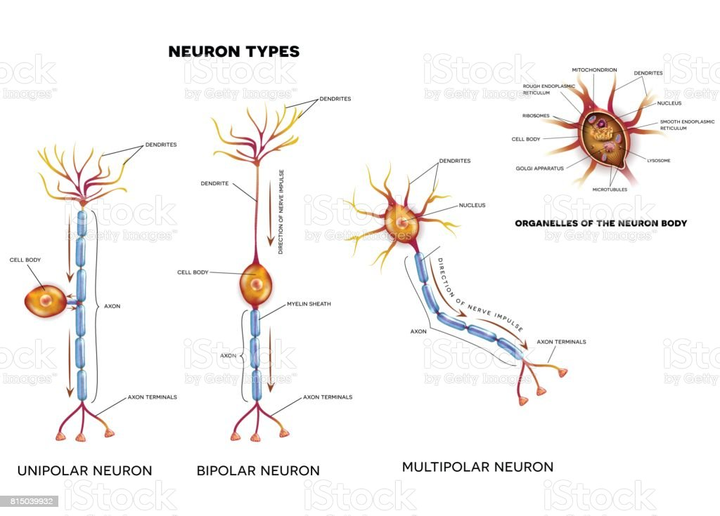 Nerve Cell Types And Organelles Stock Illustration