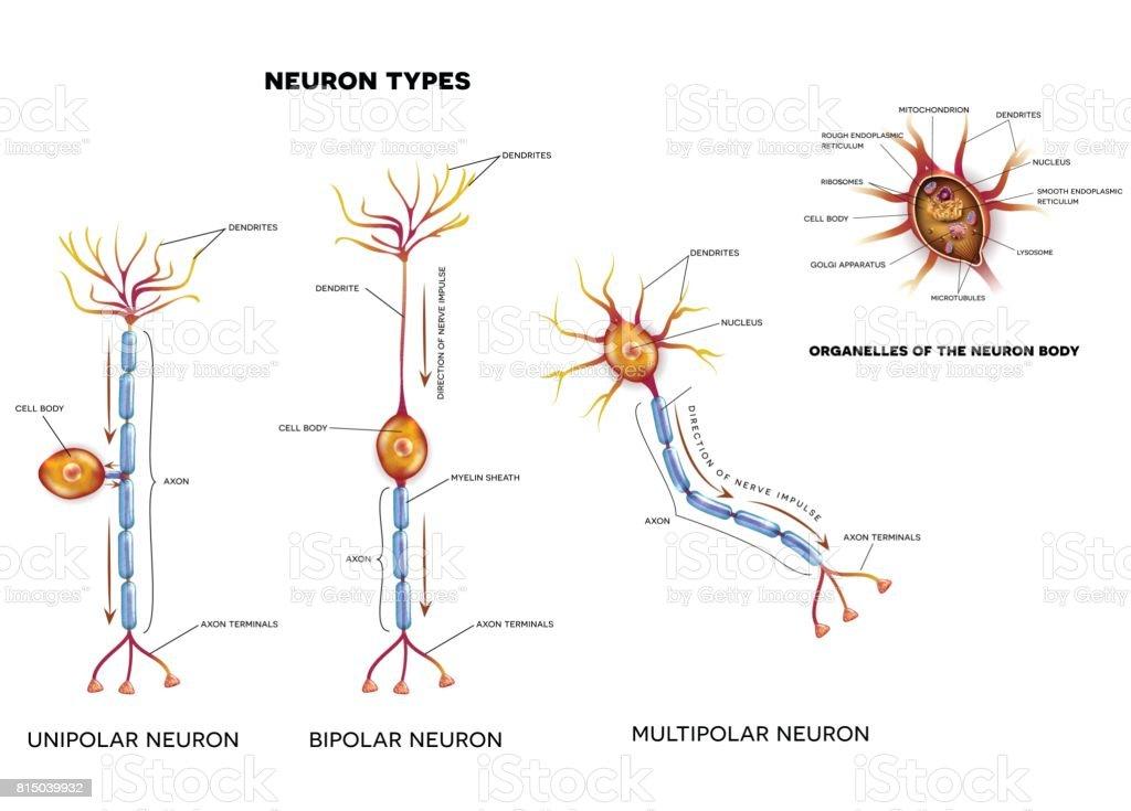 Bipolar neuron diagram diy enthusiasts wiring diagrams royalty free multipolar neuron clip art vector images rh istockphoto com neuron diagram labeled nerve cell diagram ccuart Choice Image