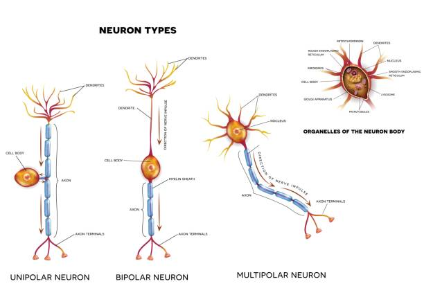 Royalty free multipolar neuron clip art vector images nerve cell types and organelles vector art illustration ccuart Choice Image