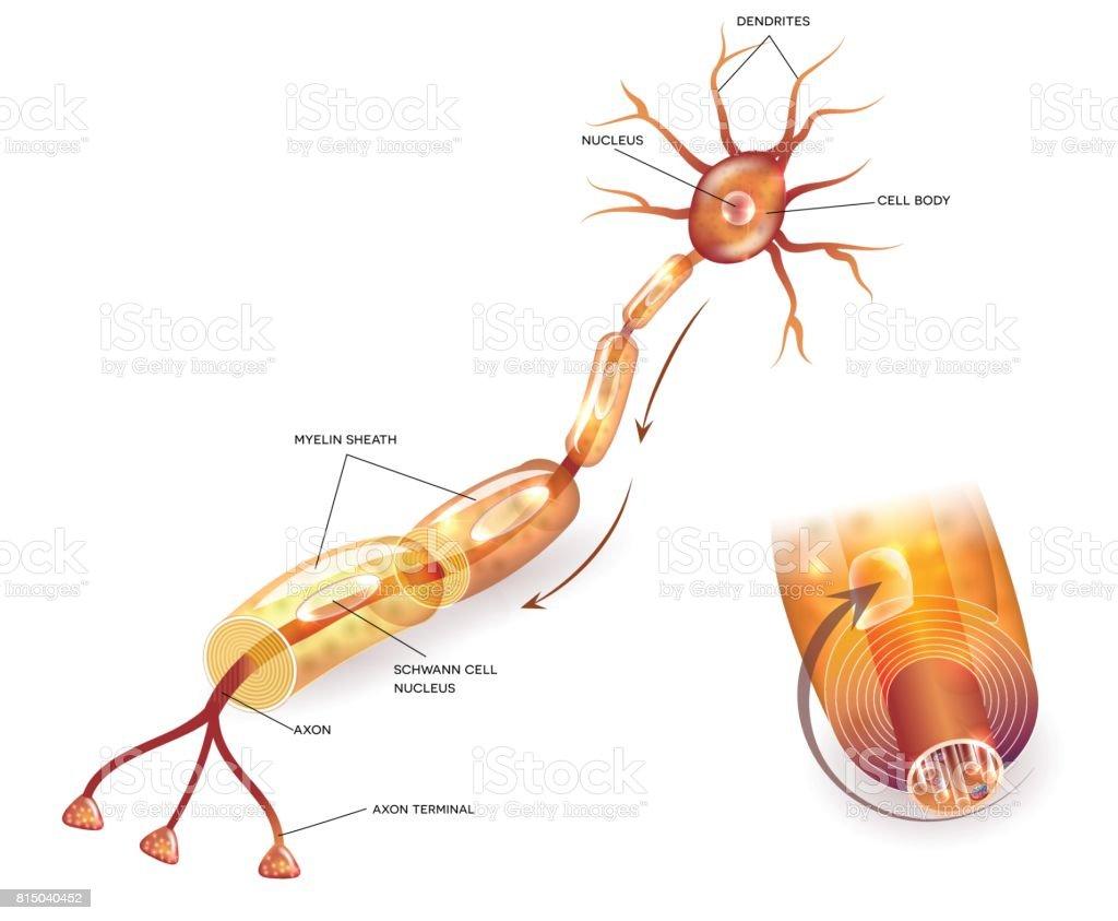 Célula Nerviosa - Arte vectorial de stock y más imágenes de Anatomía ...