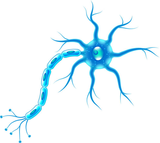 Nerve cells isolated on white photo realistic vector illustration Nerve cells isolated on white photo realistic vector illustration neural axon stock illustrations