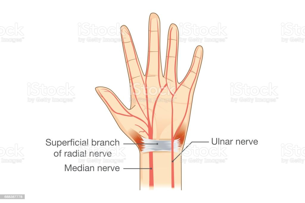 What Nerve Controls Flexion Of The Ring Finger