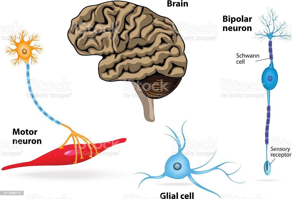 Nervensystem Menschliche Anatomie Stock Vektor Art und mehr Bilder ...