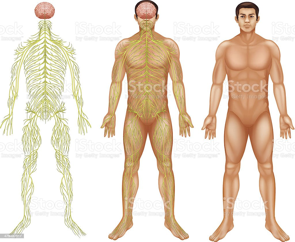 Nervous system of a man vector art illustration
